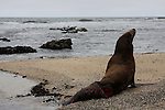 California sea lion with injury at Fitzgerald Marine Reserve