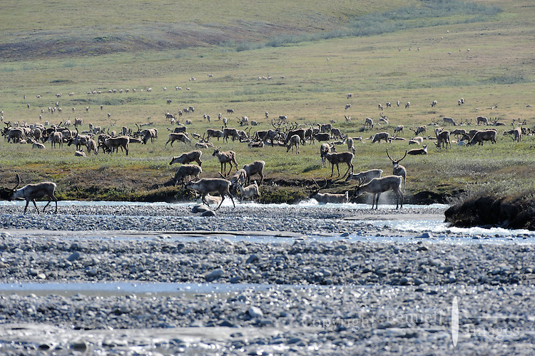 In early summer, herds of caribou emerge from the foothills of the Brooks Range, cross the icy Hulahula River near Old Man Creek, and head onto the Coastal Plain as part of their annual migration in Alaska's Arctic National Wildlife Refuge.