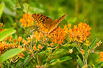 Fritillary butterfly on orange flowers.