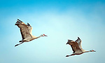 March 21, 2018: Sandhill cranes soar in the morning sun over the National Wildlife Refuge fields and wetlands. Each spring, as many as 27,000 sandhill cranes migrate through Colorado's San Luis Valley and the Monte Vista National Wildlife Refuge, Monte Vista, Colorado