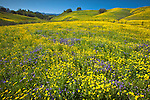 Coreopsis and Lupin cover a hillside with Sierra Madre Mountains in background. Santa Barbara County, CA.