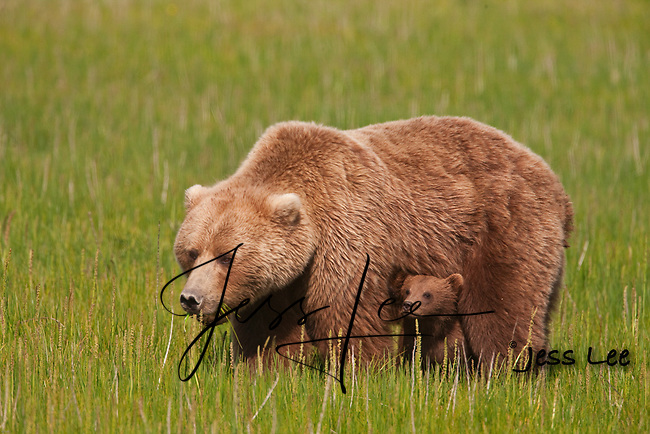 A photo of a Alaska coastal brown bear sow and cub in the fresh green grass. Grizzly Bear or brown bear alaska Alaska Brown bears also known as Costal Grizzlies or grizzly bears