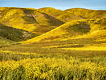 Golden wildflowers cover the Temblor Range in spring on the east side of California Valley, San Luis Obispo County, Calif.
