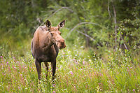 Cow moose stands in fireweed along the Alaska Highway, Interior, Alaska.