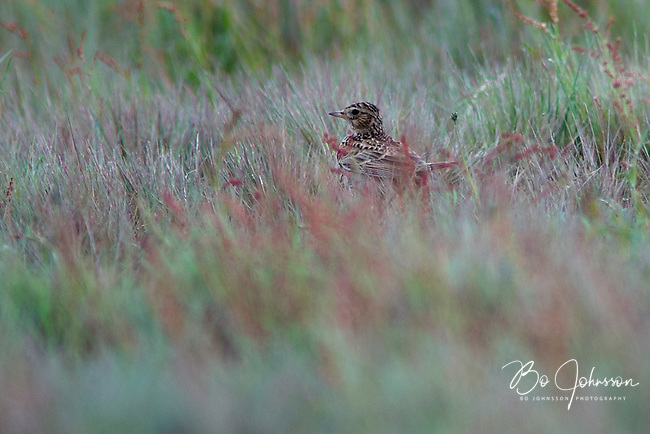 A skylark (alauda arvensis) resting in the grass and hunting insects.<br /> Karup, southern Sweden.<br /> June 2005.