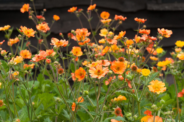 Geum 'Totally Tangerine', late May.