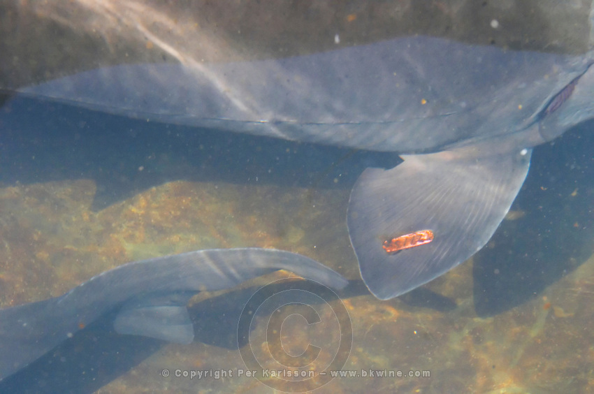 "A sturgeon in a Fish farm nursery dam pond, the red badge on the fin shows that it is a female that will later be used for harvesting caviar eggs  ""Caviar et Prestige"" Saint Sulpice et Cameyrac  Entre-deux-Mers  Bordeaux Gironde Aquitaine France - at Caviar et Prestige"