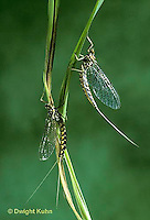 1E15-031x  Mayfly - imago adult males - Siphlonisca aerodromia - endangered insect, Maine stream