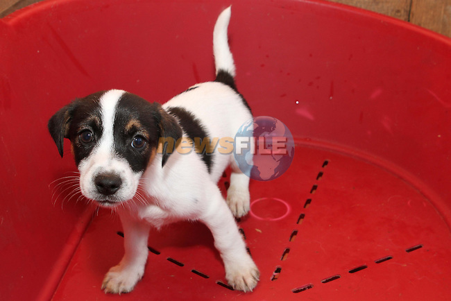 1 of 7 Terrier Jack Russell cross pups (10 weeks old) at Collon Animal Santuary...Photo NEWSFILE/Jenny Matthews.