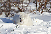 01863-01105 Arctic Fox (Alopex lagopus) in snow in winter, Churchill Wildlife Management Area, Churchill, MB Canada