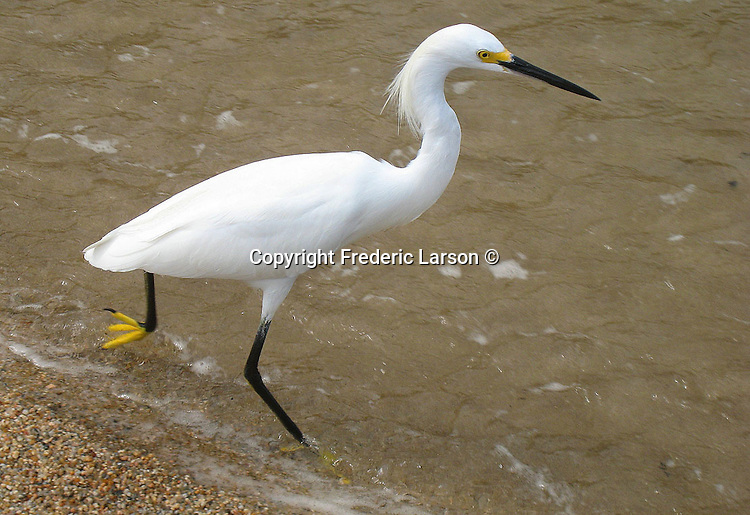 A white great egret on the beach of in Puerto Vallarta, Mexico.
