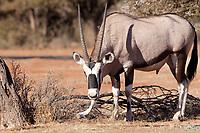 Gemsbok (Oryx gazella) chewing horn/bone. Mokala national park, South Africa.