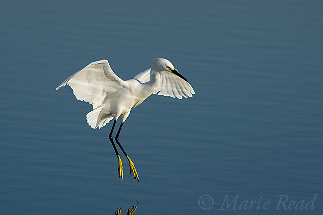 Snowy Egret (Egretta thula) with outspread wings about to land in water, Bolsa Chica Ecological Reserve, California, USA