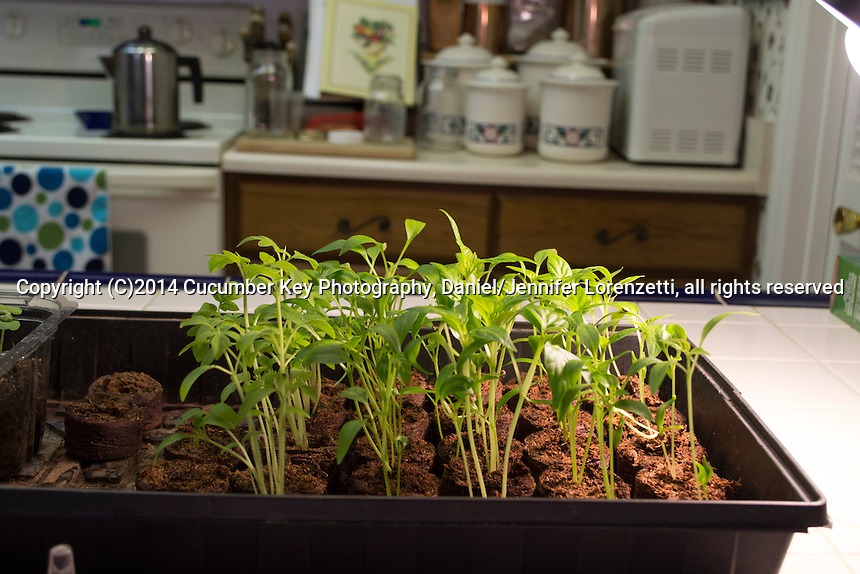 A kitchen counter with a simple grow light is a great place to start seedlings.  Left to Right: Red Pear tomatoes, Jalapeno peppers, Nikita peppers, Candy Apple peppers, Paprika peppers.