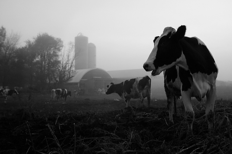 Cattle wander through the mist before being milked at the Weiss Dairy Farm in Swan Lake, NY.