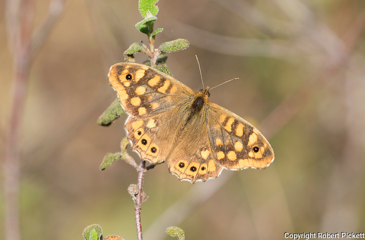 Speckled Wood Butterfly, Pararge aegeria, Ria Formosa East, Algarve, Portugal, resting with wings open