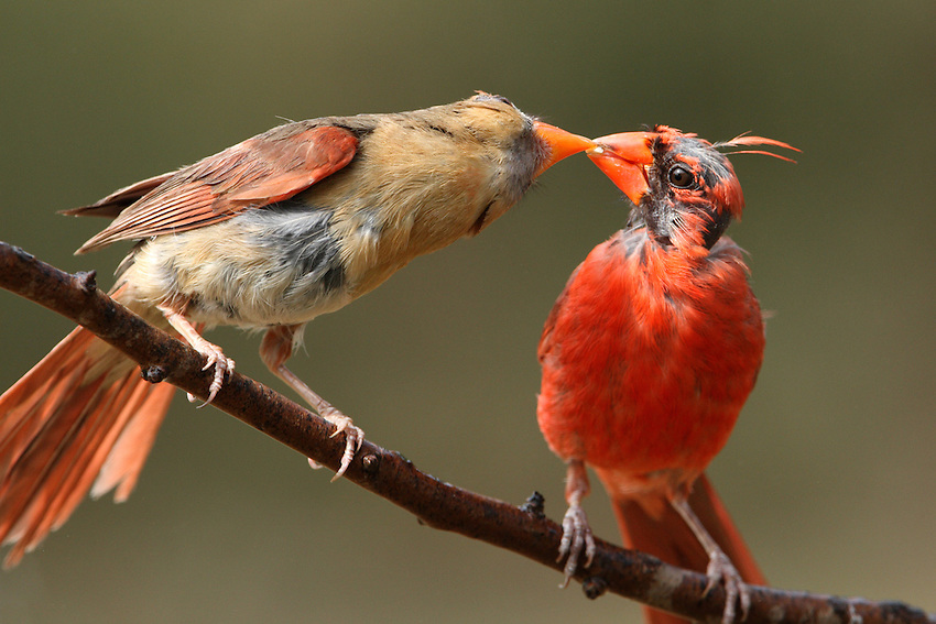 Northern Cardinal pair exhibiting characteristic behavior..