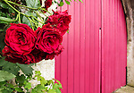 VMI Vincentian Heritage Tour: red roses against a red door in Folleville, Wednesday, June 22, 2016, in northern France. The manor and castle of Folleville were the property of Philippe Emmanuel de Gondi. Vincent de Paul was the spiritual advisor to Phillippe's wife, Madame de Gondi. The site is also home of Church of Saint-Jacques-Le-Majeur et Saint-Jean-Baptiste, where Vincent spoke in 1617, a sermon credited for the creation of the Congregation of the Mission. (DePaul University/Jamie Moncrief)