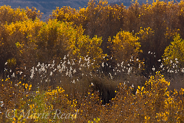 Cottonwoods and Phragmites backlit in autumn, Bosque Del Apache Nationa Wildlife Refuge, New Mexico, USA