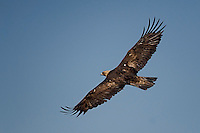 Golden Eagle Flying, Colorado