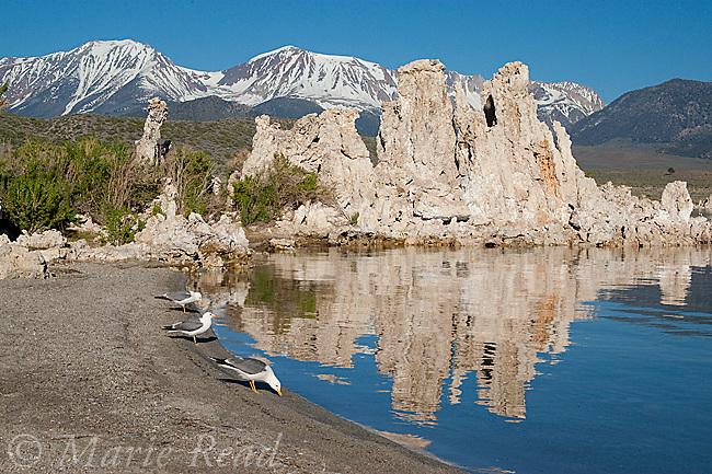 California Gulls (Larus californicus) at South Tufa on the shore of Mono Lake, California, USA