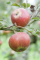 Apple 'Crimson Cox', mid September. An English dessert apple that is a sport of Cox's Orange Pippin.