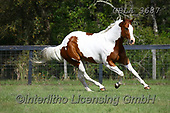 Bob, ANIMALS, REALISTISCHE TIERE, ANIMALES REALISTICOS, horses, photos+++++,GBLA3687,#a#, EVERYDAY
