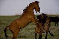 You studs mock battle to earn confidence  to battle a stallion.  Bachelor bands of wild horses often work together to challenge stallions and steal mares.<br /> The Gila herd of wild horses at International society for the Protection of Mustangs and Burros is one of three herds cared for by the oldest wild horse organization founded in 1960.<br />   Karen Sussman is the third president.<br /> Wild Horse Annie, Velma Johnston, was the first. Annie, along with Helen Reilly worked together for the passage of the 1971 Wild Horses and Burros Act to protect horses from slaughter and inhumane treatment.