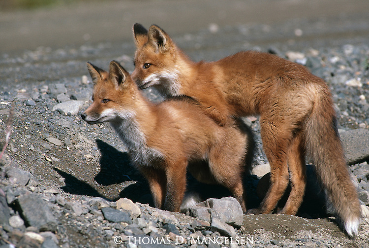 Close-up of two Red Foxes in Denali National Park.