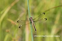 06617-00505 Spangled Skimmer (Libellula cyanea) female in wetland Washington Co. MO