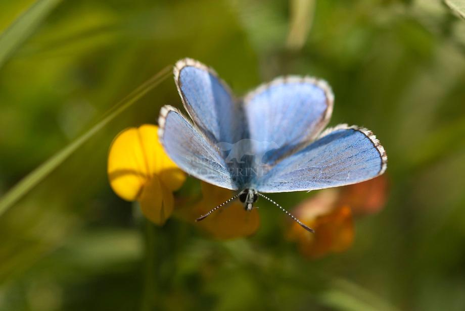 Adonisblauwtje (Lysandra bellargus)