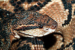 Bushmaster, Lachesis muta stenophrys, Central and South America, jungle, poisonous, venemous, .Central America....