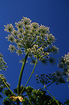 Giant hogweed plant umbel Heracleum mantegazzianum flower, UK