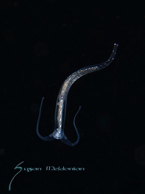 Pelagic Nudibranch , planktonic creature, marine life, black water diving