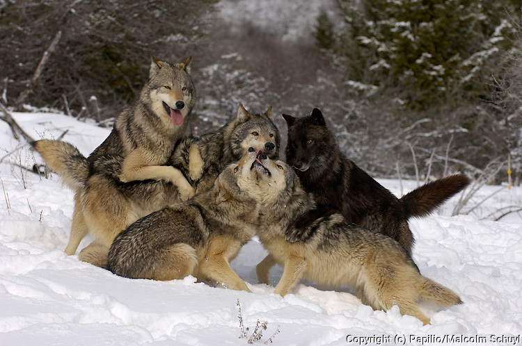 Pack of Timber Wolves (Canis lupus) asserting hierarchy, captive, USA, dominance, leader