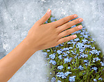 Hand removing Ice from a frozen window revealing field of flowers behind. Clipping path around the hand included.