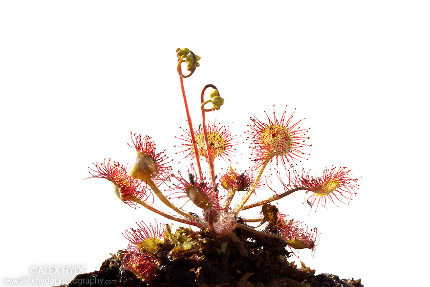 Round-leaved sundew (Drosera rotundifolia) photographed against a white background. Isle of Mull, Scotland. June.