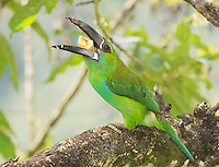 Crimson-rumped toucanet, Aulacorhynchus haematopygus, eating fruit from a feeder at San Jorge Eco-Lodge, Tandayapa Valley, Ecuador