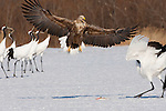 White-tailed sea eagle and Japanese cranes, Hokkaido, Japan