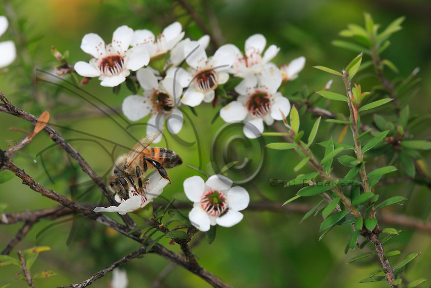 A bee on a manuka flower.