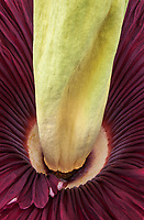 Amorphophallus titanum, Titan Arum or Corpse flower blooming in San Francisco Conservatory of Flowers