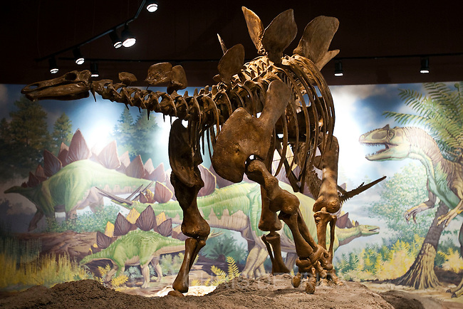 Chris Detrick  |  The Salt Lake Tribune.A well-armored Stegosaurus skeleton at the Utah Field House of Natural History State Park Museum Tuesday October 4, 2011.