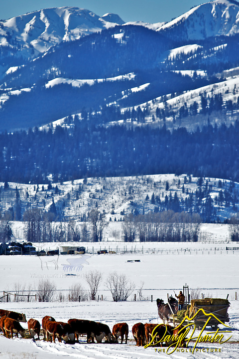 Clydesdale team feeding cattle during a Jackson Hole Wyoming winter.