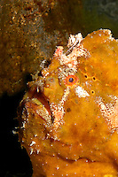 The Commerson's Frogfish (Antennarius commersonii)  is one the Waikiki Aquarium's more popular attractions.