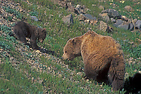 Grizzly Bear and cubs foraging, Denali National Park, Alaska