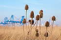 Teasels (Dipsacus fullonum) growing on a brownfield site. Kingston upon Hull, East Yorkshire, England, UK.