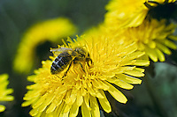 Pollen coated honeybee on dandelion. Pacific N.W.