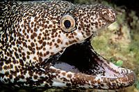 spotted moray eel, Gymnothorax moringa, near Nassau, New Providence Island, Bahamas, Caribbean (Western Atlantic Ocean)