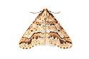 Mottled Umber moth {Erannis defoliaria} male, photographed on a white background. Peak District National Park, Derbyshire UK. November.