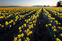 Daffodil field, Skagit Valley, Mount Vernon, Washington State, USA